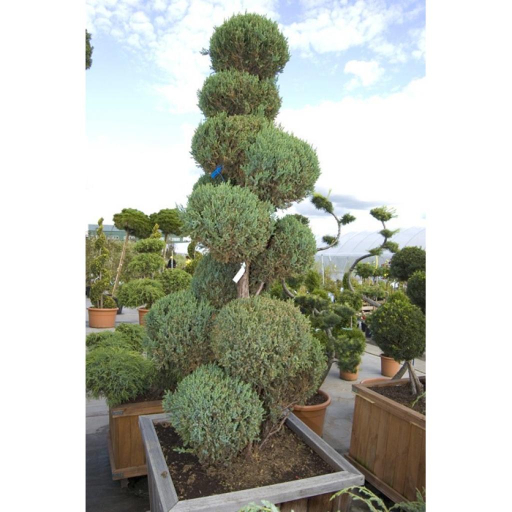 Juniperus Stricta
