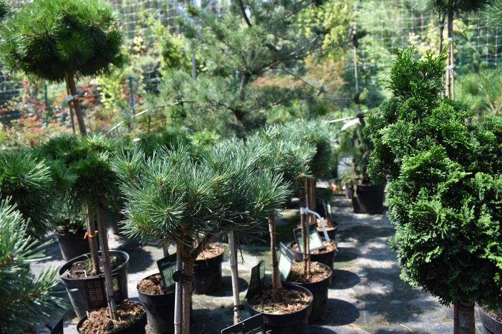 Pinus sylvestris 'Watereri' pe picior