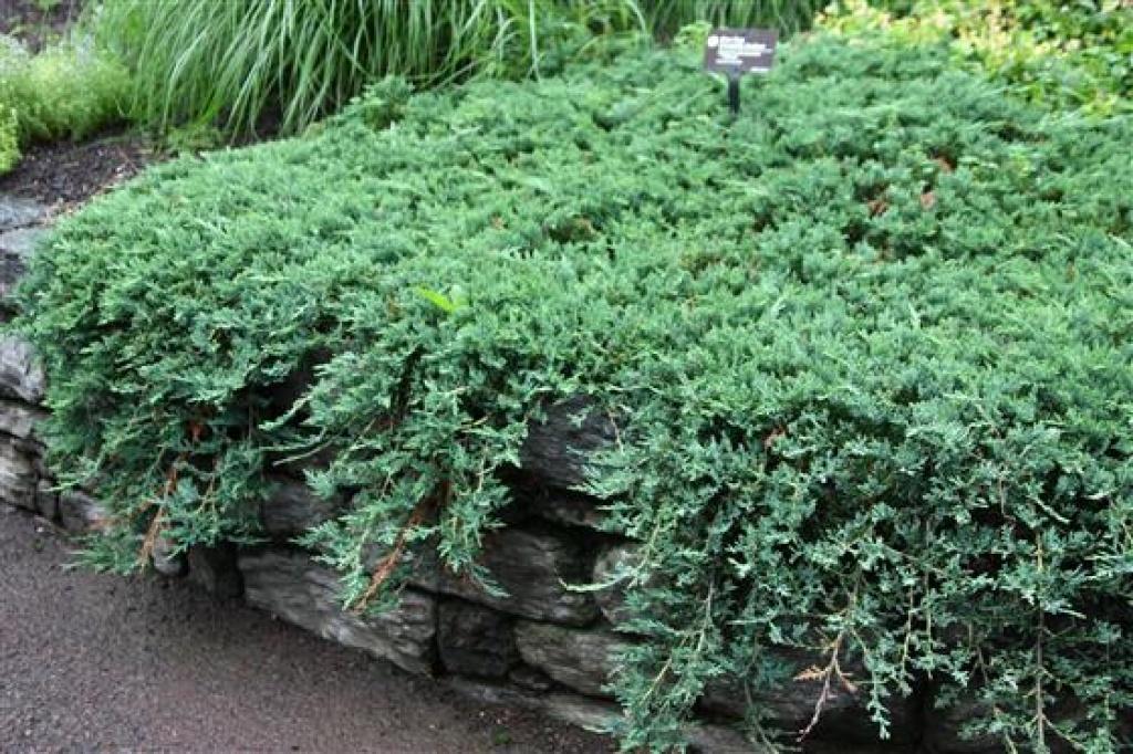 """Juniperus """"Wiltonii"""""""