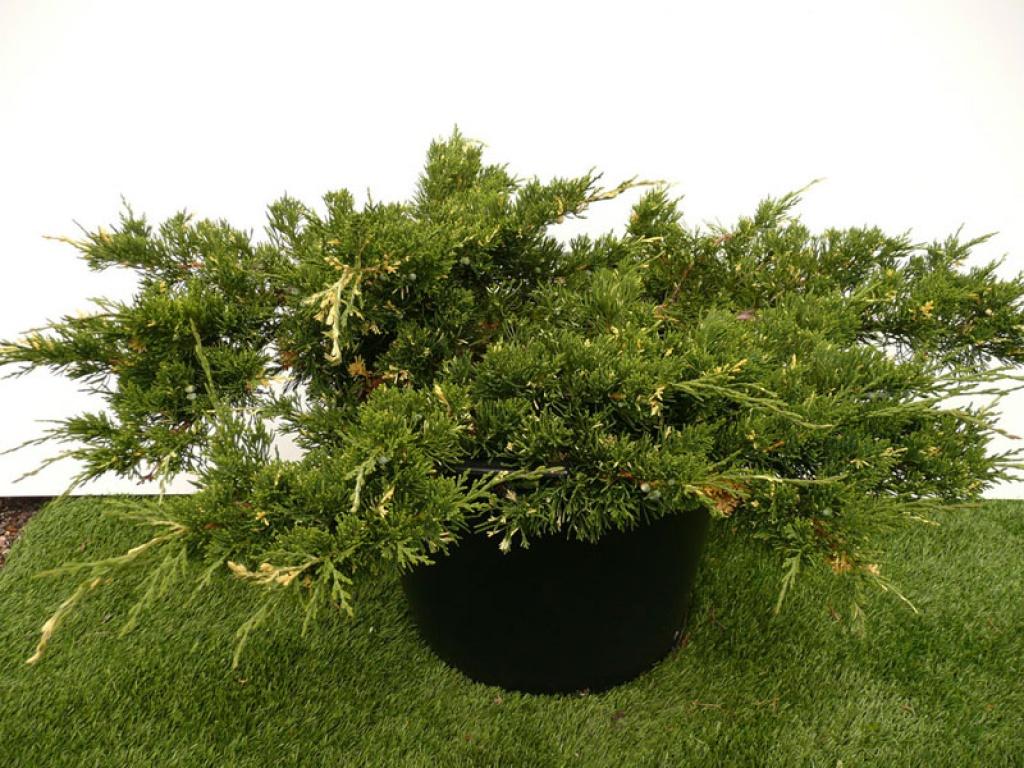 "Juniperus chinensis ""Expansa Variegata"""