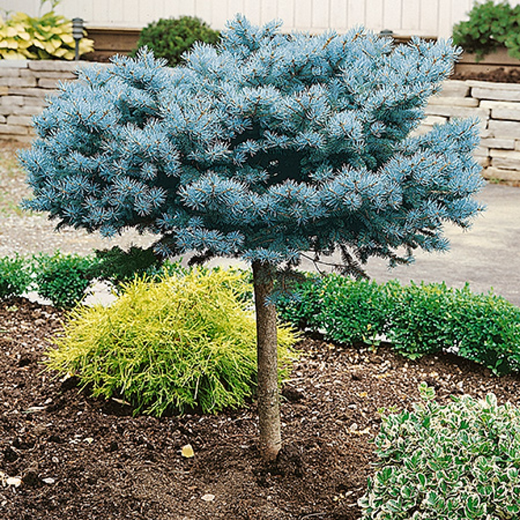 Picea Pungens Glauca Globosa ( pe picior)