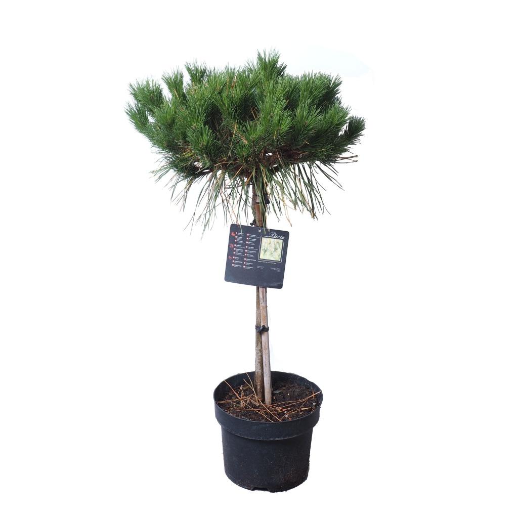 Pinus densiflora 'Jane Kluis' pe picior
