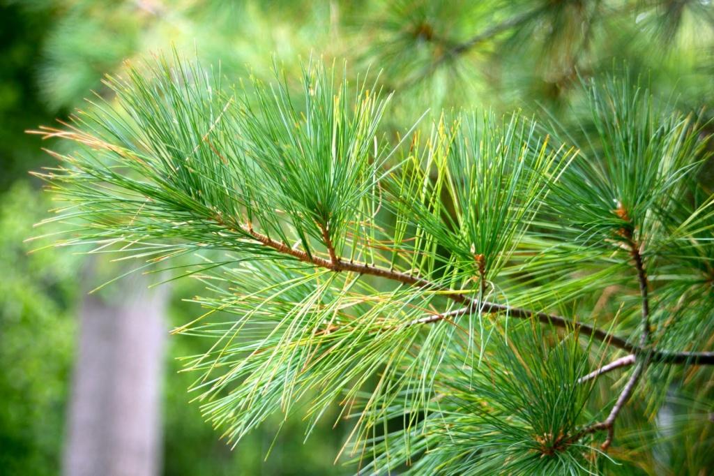 Pinus strobus 'Densa'