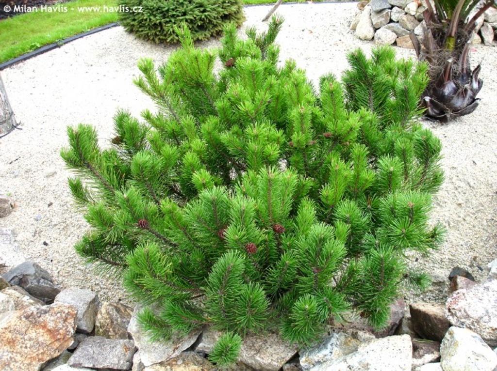 """Pinus Mugo """"pumilio"""""""