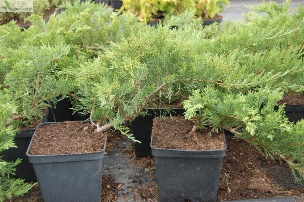 """juniperus """"Sabina Tamariscifolia"""""""