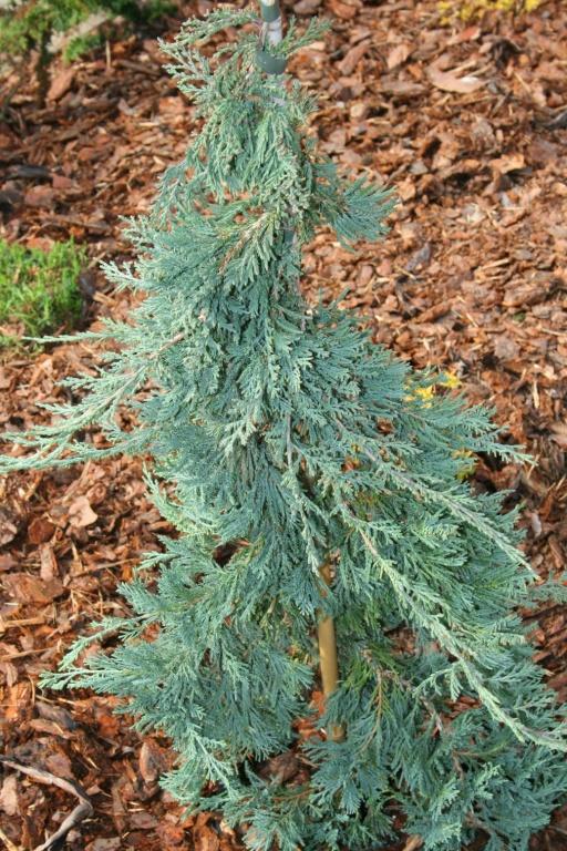 Juniperus Wiltonii PA