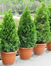 "Thuja occidentalis ""Smaragd''"