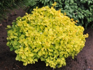"Berberis thunbergii ""Tiny Gold"""