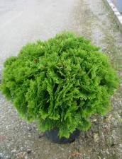 "Thuja occidentalis ""Danica"""