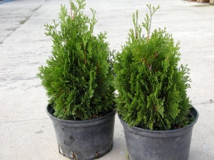 "Thuja occidentalis ""Miky"""